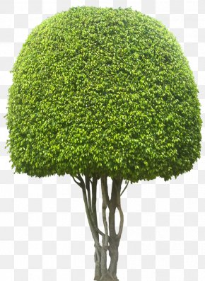 Bonsai - Weeping Fig Ficus Microcarpa Evergreen Tree Hedge PNG