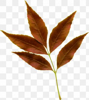 Woody Plant Flower - Maple Tree PNG