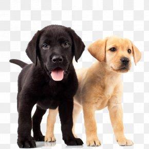 Dogs - Labrador Retriever Golden Retriever Puppy Dog Breed PNG