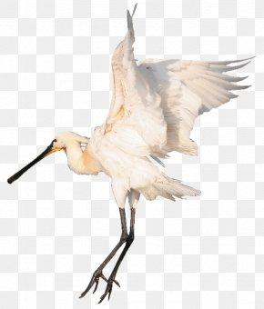 Bird - Bird Beak White Stork Centerblog Ibis PNG