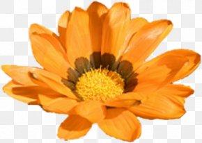 Marigold - Calendula Officinalis Marigold Flower Yellow Clip Art PNG
