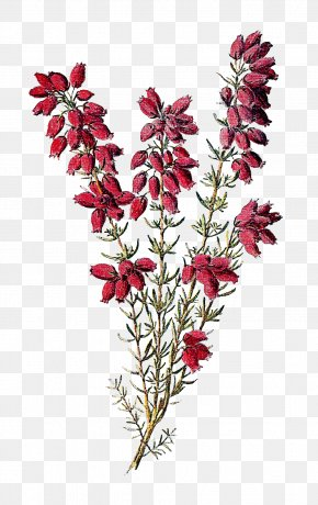 Wildflower Cliparts - Calluna Drawing Flower Tattoo Botany PNG