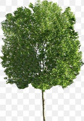 Trees - Ohio Buckeye Sugar Maple Tree Clip Art PNG