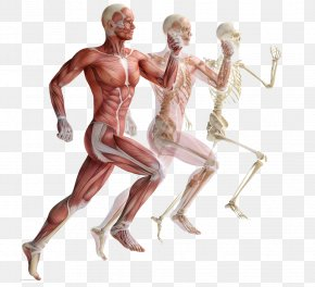 Movement Of Human Muscle Anatomy - Skeletal Muscle Human Skeleton Muscular System PNG
