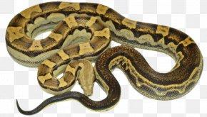 Boa Constrictor - Boa Constrictor Hognose Snake Reptile Kingsnakes PNG