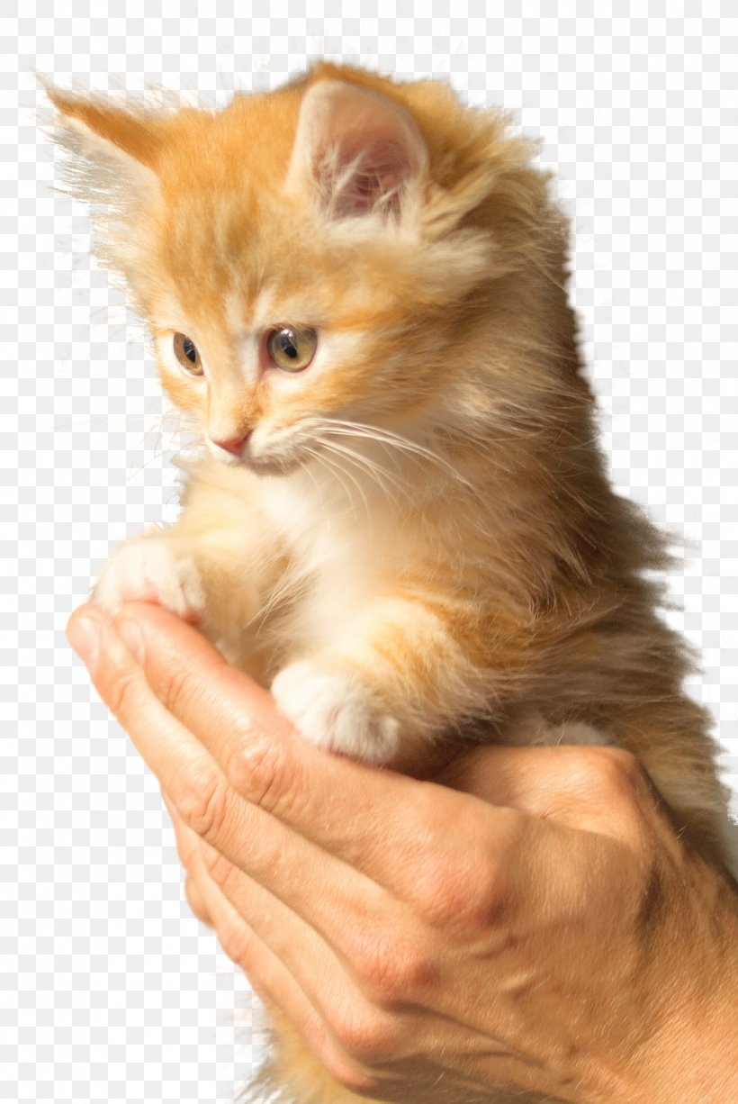 British Shorthair Persian Cat Kitten Puppy Felidae Png 856x1280px British Shorthair Animal Calico Cat Carnivoran Cat