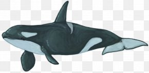 Whale - Rough-toothed Dolphin White-beaked Dolphin Common Bottlenose Dolphin Killer Whale PNG