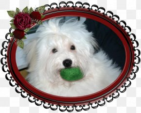 Puppy - Maltese Dog Havanese Dog Coton De Tulear Schnoodle West Highland White Terrier PNG