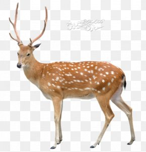 Sais Poster - Sika Deer Stock Photography Royalty-free Chital PNG