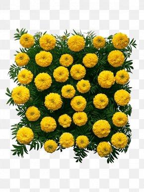 Marigold Flower Wall - Chrysanthemum Mexican Marigold Flower PNG