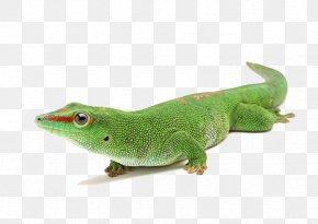 Animals Chameleon - Reptile Chameleons Lizard PNG