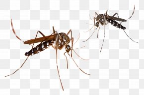 Mosquitos - Mosquito PNG