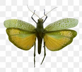 Grasshoppers Photos - Butterfly Insect Clip Art PNG
