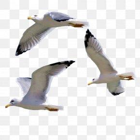 Seagull - Bird European Herring Gull Gulls PNG