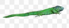 Free Stock Photos - Lizard Reptile Chameleons Green Iguana PNG