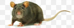 Rat Clipart - Black Rat Clip Art PNG