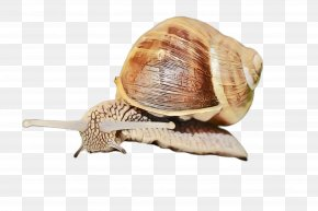 Escargot Sea Snail - Snails And Slugs Lymnaeidae Snail Sea Snail Escargot PNG