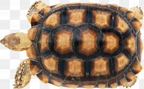 Turtle - Turtle Shell Reptile Carapace Chinese Softshell Turtle PNG