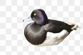 Black-necked Duck - Mallard Duck Raster Graphics PNG