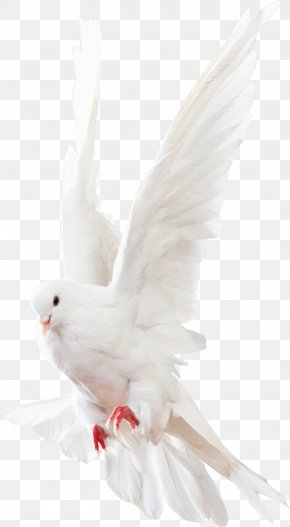 Pigeons Animals - Columbidae Rock Dove Homing Pigeon PNG