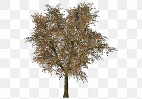 Arbol - Norway Maple Tree Woody Plant Three-dimensional Space Branch PNG
