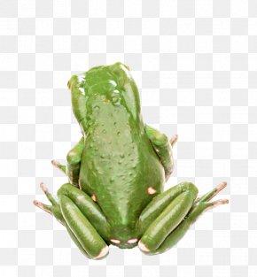 Green Frog - Edible Frog Animal Tree Frog Wallpaper PNG
