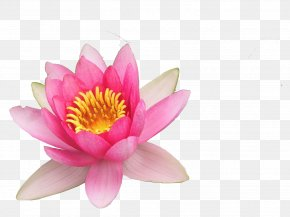 Lotus - Nelumbo Nucifera Close-up Petal Lotus PNG