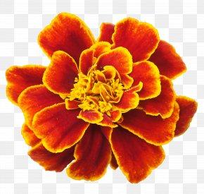 Marigold - Mexican Marigold Flower Clip Art PNG