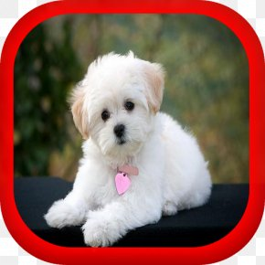 Puppy - Maltese Dog Yorkshire Terrier Jack Russell Terrier Puppy Rat Terrier PNG