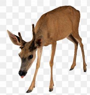 Deer - Moose Reindeer Capreolinae Clip Art PNG