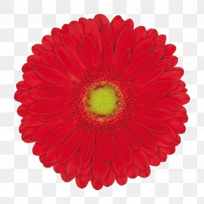 Highlight - Gerbera Jamesonii Flower Pink Orange Yellow PNG
