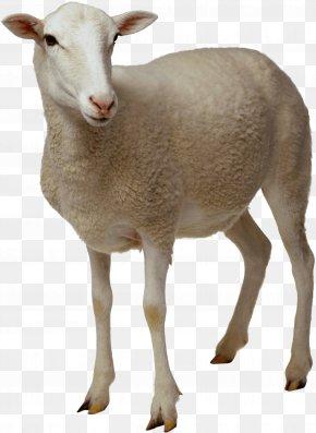 Sheep Image - Sheep Goat Clip Art PNG