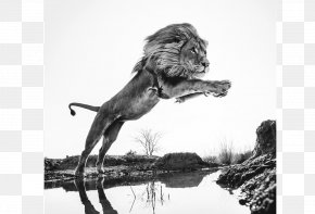 Lion King - Maddox Gallery Glasgow Wild Encounters: Iconic Photographs Of The World's Vanishing Animals And Cultures Photography Art PNG