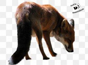 Fox - Red Fox Arctic Fox Black Flying Fox PNG