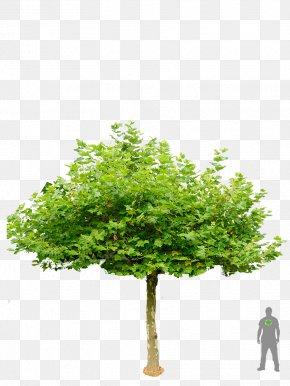 Bonsai Trees - London Plane Tree Garden Shrub Roof PNG
