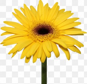 Yellow Background - Common Daisy Transvaal Daisy Flower Clip Art PNG