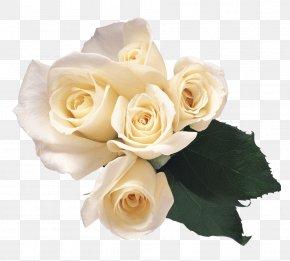 White Roses Image - Garden Roses Flower Petal PNG