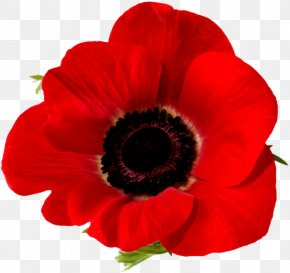 Flower - Remembrance Poppy Armistice Day Lest We Forget Common Poppy PNG