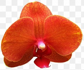 Burgundy Orchid - Moth Orchids Cattleya Orchids Stock Photography Clip Art PNG