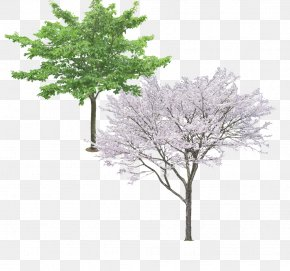 Pear Tree Evergreen Picture Material - Tree Ginkgo Biloba Pine PNG