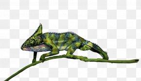 Chameleon - Chameleons Reptile Lizard Animal PNG