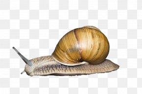 Snail - Snail Seashell Gastropod Shell Gastropods Animal PNG