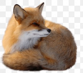 Fox Image Download Picture - Red Fox PNG