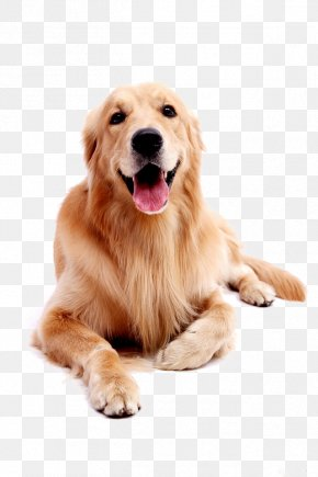 Dog Pet Golden Retriever - Golden Retriever Labrador Retriever Puppy PNG