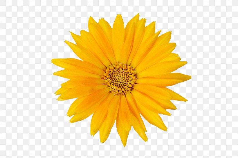 Calendula Officinalis Flower Mexican Marigold, PNG, 1024x683px, Calendula Officinalis, Black And White, Calendula, Chrysanthemum, Chrysanths Download Free
