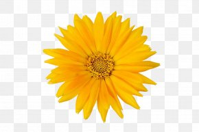 Marigolds Photos - Calendula Officinalis Flower Mexican Marigold PNG