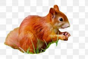 Fawn Fox Squirrel - Squirrel Eurasian Red Squirrel Chipmunk Eastern Chipmunk Snout PNG