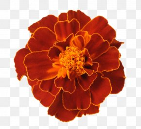Red Marigold Leave The Material - Mexican Marigold Flower Tagetes Lucida PNG