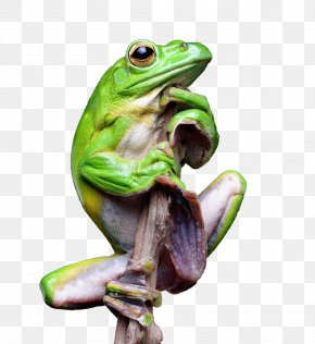 Green Tree Frog - True Frog Tree Frog Toad PNG