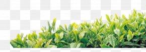 Tea - Tea Culture Oolong Template PNG